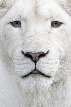 White Lion, so beautiful, so rare!