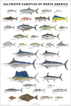 Great poster of saltwater game fish for the kitchen.