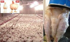 The disturbing prospect of chlorine-washed chickens from the US going on sale in British shops in a post-Brexit trade deal last week sparked an explosive row at the heart of Government.But beyond the politics lies the story of why A Why Vegan, Vegan Vegetarian, Natural Farming, Factory Farming, Stop Animal Cruelty, Organic Chicken, Vegan Animals, Meat Chickens