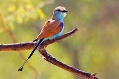 http://birding.krugerpark.co.za/images/birding-kruger-racket-tailed-roller-albert-froneman-590.jpg