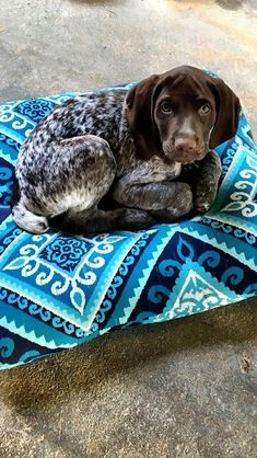 The German Shorthaired Pointer (GSP) was bred at the turn of the nineteenth century in Germany with the end goal of hunting. Gsp Puppies, Pointer Puppies, Pointer Dog, Cute Puppies, Cute Dogs, Baby Animals, Cute Animals, Sweet Dogs, German Shorthaired Pointer
