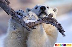 Tingkah lucu Taiga, beruang kutub di Quebec Aquarium