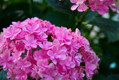 Twenty Evergreen Shrubs For Non-Stop Color | HGTV Night Blooming Flowers, Hydrangea Not Blooming, Hydrangea Garden, Garden Shrubs, Flowering Shrubs, Hydrangea Flower, Hydrangeas, Lilacs, Landscaping Plants