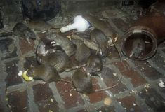 Rats and mice are the most common in roof spaces. They also prefer cellars and cupboards. For more information: https://bit.ly/2Bj7Ajp #RatRemovalAtlanta