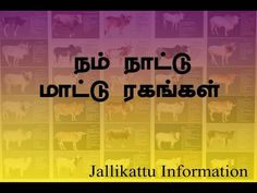 Indian Country Cow in Tamil | Jallikkattu Information | Cattle Breed | Organic Living