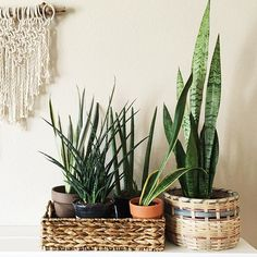 Snake plant collection | Clever Bloom