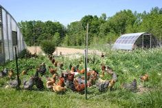 Laying Hens and Roosters | Salad Bar for Pastured Chickens at Castle Rock Gardens | North ...