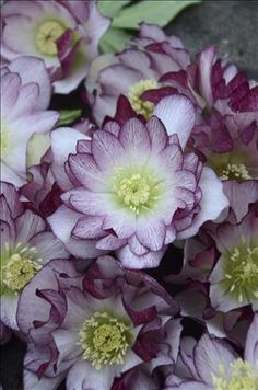 'Blushing Bridesmaid' Hellebore--part of the latest and greatest Hellebore strain called the Wedding Party Series