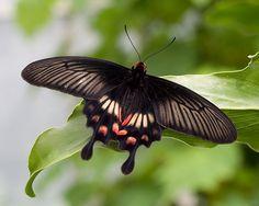 pachliopta kotzebuea   ... Swallowtail Butterfly (Pachliopta kotzebuea)   Flickr - Photo Sharing