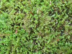 maintaining a moss patch