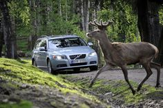 What to do About Animals in the Path of Your Jeep - Don't swerve to avoid an animal