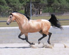 GRUPO PRE - Moret III !!!perfection!!! gorgeous buckskin spanish horse