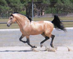 GRUPO PRE - Moret III !!!perfection!!! gorgeous buckskin spanish horse