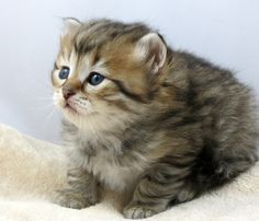 One of our currently available male kittens - www.siberiancat.com