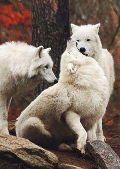 Arctic wolfs by Jeannette Dewald