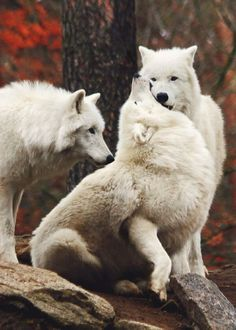 Arctic wolfs by Jeannette Dewald