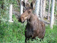 moose | Description Cow moose.jpg