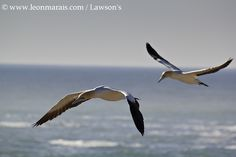 Cape Gannets, one of the many endemic species to be seen.