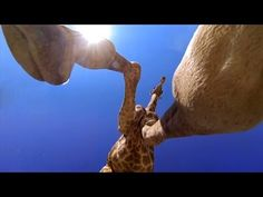 GoPro: Giraffe Kick - YouTube