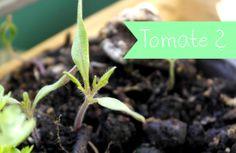 Blumenwichteln 2014 - Tomate?