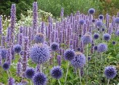 Awash with colors and shapes, this fabulous perennial planting brilliantly associates the bold, steel blue globe-shaped flowers of Echinops ritro (Globe Thistle) with the vertical purple spires of Anise Hyssop (Agastache). Created by world acclaimed d Plant Design, Garden Design, Herbaceous Border, Meadow Garden, Border Plants, Border Garden, Purple Garden, Purple Plants, Shade Garden
