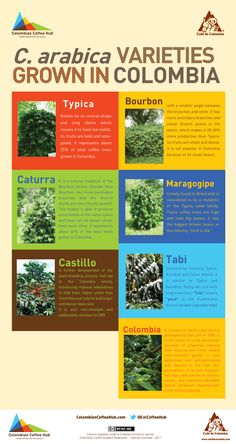coffea arabica varieties grown in colombia