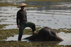 laos-sayabouli-elephant-conservation-center-man-standing-on-bathing-elephant-tiger-trail-13.jpg