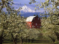 -red-barn-in-pear-orchard-mt-hood-hood-river-county-oregon-usa.jpg