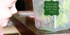A great post on raising butterflies with your kids!  So fun!