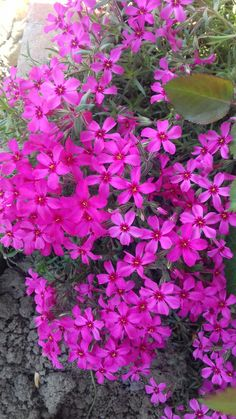 How To Get Better, Good Skin, Beauty Skin, Beautiful Flowers, Landscape, Ricotta, Spring, Magenta, Gardening