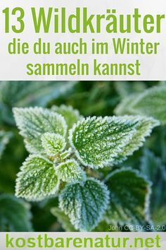 You can also collect these 13 wild herbs in winter - food .- Diese 13 Wildkräuter kannst du auch im Winter sammeln – Kostbare Natur You don& have to do without wild herbs even in winter. You can find and use some plants even in cold months. Winter Vegetables, Planting Vegetables, Gardening For Beginners, Gardening Tips, Balcony Gardening, Vegetable Garden Tips, Spring Starts, Growing Herbs, Edible Garden