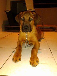 #thor#pitbull#canecorso