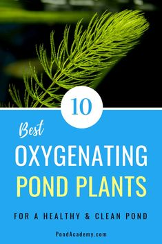 Pond plants can reduce algae, clean your water and supply vital oxygen. But, which plants should you choose? Here are the 10 best oxygenating pond plants for your pond or water garden! Water Garden Plants, Fountains Backyard, Backyard Water Feature, Garden Pond Design, Water Plants For Ponds, Pond Plants, Landscaping With Rocks, Water Plants