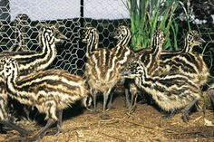 After she lays a cluster – between five and 20 – of beautiful dark green eggs, the mother emu leaves the nesting area and never returns. The chicks are reared by their father for up to two years