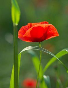 Wild poppies flowers pinterest wild poppies flowers and flower looks like a red corn poppy mightylinksfo