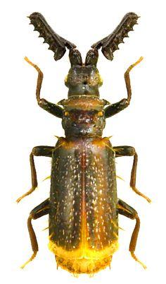 Paussus ( Cochliopaussus) sp.