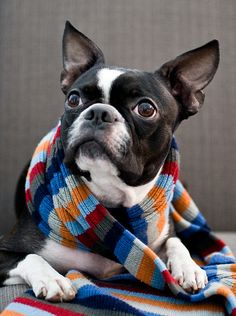 Boston Terrier, maybe a fan of the 4th Doctor?