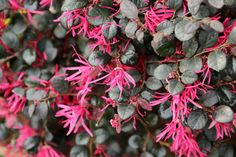 15 Low-Maintenance Shrubs - This Old House Landscaping Shrubs, Garden Shrubs, Front Yard Landscaping, Landscaping Design, Garden Yard Ideas, Garden Crafts, Fast Growing Hedge Plants, Summer Flowers, Pink Flowers