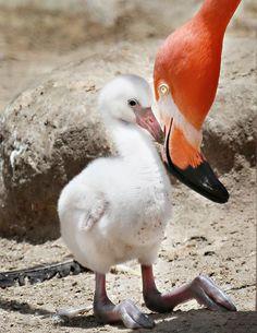Cute Baby Flamingo - Photos Of Animals That Are Rarely Seen As Babies Pretty Birds, Love Birds, Beautiful Birds, Animals Beautiful, Animals And Pets, Baby Animals, Cute Animals, Pink Animals, Animal Babies