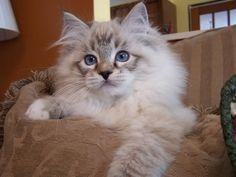 Cat , 5 Fabulous Ragdoll Cat Pictures : Ragdoll Cat