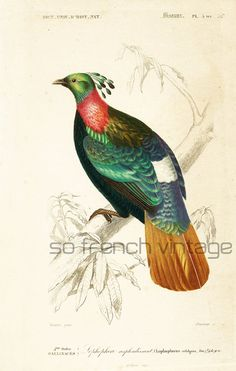 Bird, Himalayan monal. Original antique engraving, NOT A COPY This print is taken from the Dictionnaire Universel d'Histoire Naturelle, a publication directed by the french... #orbigny #birding