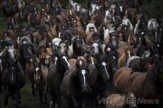 スペイン北西部サブセド(Sabucedo)村で行われた馬の祭り「ラパ・ダス・ベスタス(野獣の毛刈りの意)」で、囲いに追い込まれる野生の馬たち(2014年7月5日撮影)。(c)AFP/MIGUEL RIOPA ▼7Jul2014AFP|「野獣の毛刈り」祭り、野生の馬を追い込む男性たち スペイン http://www.afpbb.com/articles/-/3019842 #Rapa_das_Bestas_of_Sabucedo #Rapa_das_Bestas_de_Sabucedo
