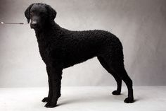 Westminster's Best of Breed (2013) Ariel, registered as Riverwatch Grand Illusion, is owned by Gary Meek and Mary Meek.