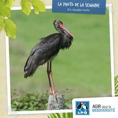 Cigogne noire, la saison de reproduction 2014 a débuté !  Plus d'infos : http://www.cigogne-noire.fr/presentation/en-direct-du-terrain/article/la-saison-de-reproduction-2014-a  Cigogne noire (Ciconia nigra) © G. Jadoul