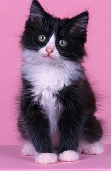 Another Common Color Scheme In The Domestic Longhair Cat Is The See More Black And White Cat At Cat Cat Breeds Popular Cat Breeds Black And White Kittens
