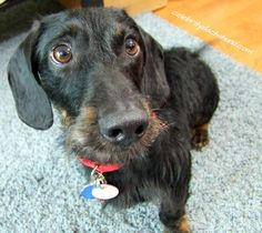 The Truth About Wire Haired Dachshunds – Crusoe the Celebrity Dachshund