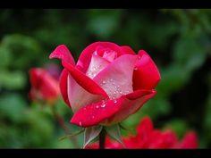 Cómo podar rosas