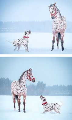 20 Animals that look the same/ Love this Appaloosa and Dalmatian match of spots and red collar and halter. Horse and dog playing in the snow.