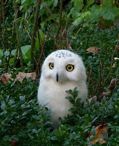 Snowy owl! It's just so precious...I can't even...oh my gosh.