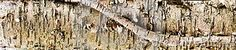 Photo about This is a very large format panoramic detail image of a birch tree s bark with a peeling curl to give some character. Image of tree, detail, curl - 70973346 Birch Bark, Large Format, Detailed Image, Stock Photos, Texture, Patterns, Wood, Character, Surface Finish